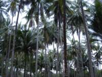 Coconut trees on Ko Kut